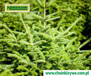Drzewko Choinkowe z Plantacji Chinek w Polsce lubuskie Nordmann