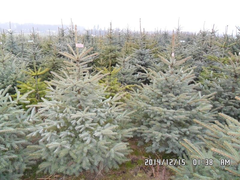 jodla-kaukaska-swierk-srebrny-28
