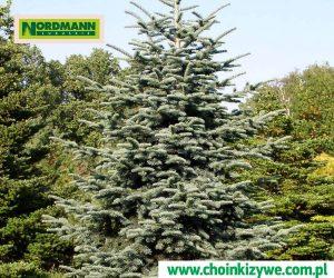 Drzewko Choinka Jodła Szlachetna Plantacja Choinek Żywych w Polsce Lubuskie Nordmann
