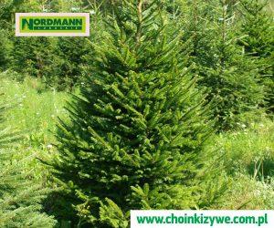 Drzewko Choinka Świerk Pospolity Plantacja Choinek Nordmann Lubuskie Polska