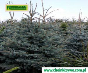 Drzewko Choinka Świerk Srebny Nordmann Plantacja Choinek Lubuskie